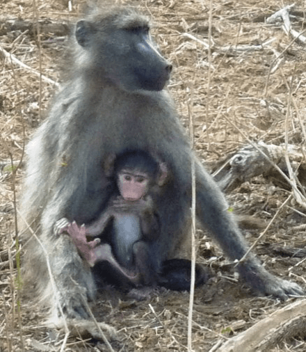 Mommy and Baby Baboon